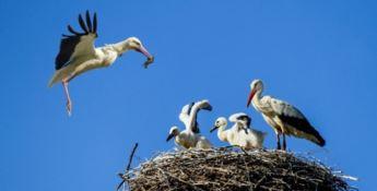 Cicogna bianca, sono 74 i piccoli nati in Calabria dall'inizio dell'anno