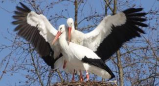 """Dopo sette anni una coppia di cicogne """"accetta"""" il nido artificiale"""