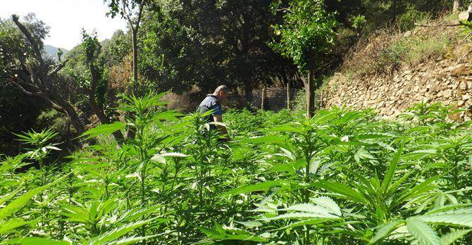 Maxi-piantagione nel Reggino