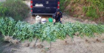 Crotone, rinvenuta piantagione di marijuana: due arresti