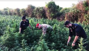 Oltre 3200 piante di marijuana, due arresti nel Reggino