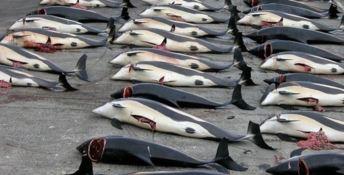 Più di cento balene incinte uccise dai cacciatori giapponesi