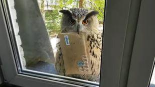 Il gufo postino consegna lettere come nella saga di Harry Potter - VIDEO