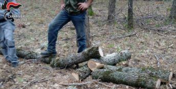 Sorpreso mentre abbatteva un albero nel Parco Nazionale della Sila