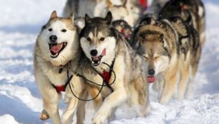 I mitici cani husky protagonisti in Sila