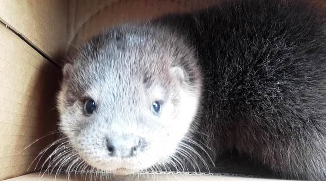 Cucciolo di lontra recuperato nel Cosentino
