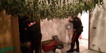 San Ferdinando, 4mila piantine di canapa in un appartamento: tre arresti