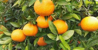 Rubati 70 quintali di arance in un'azienda agricola del Cosentino