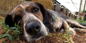 Verbicaro, avvelenati nove cani in un solo giorno