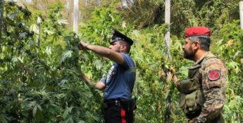 Colto in flagrante mentre coltiva la cannabis, arrestato
