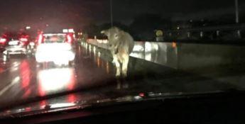 La mucca in autostrada a Reggio