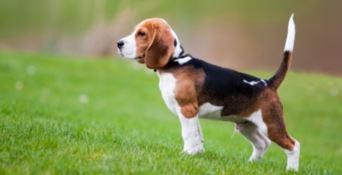 Tumore alla prostata, il cane Hoover è il primo paziente curato con la nanomedicina
