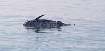 Catanzaro, cetaceo spiaggiato a Botricello