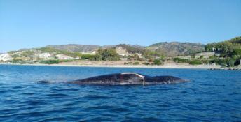 Cetaceo morto si spiaggia nel Reggino