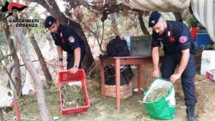 Lattarico, scoperta maxi piantagione di marijuana: arrestato 54enne
