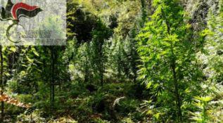 Ancora marijuana nel Vibonese, scoperta piantagione a San Nicola da Crissa