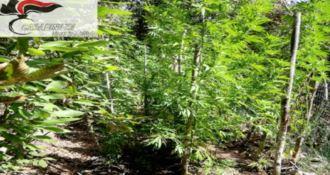 Ancora marijuana nel Vibonese, scoperta piantagione a Fabrizia