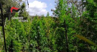"Vibonese terra di ""marijuana"", scoperta piantagione a Fabrizia"
