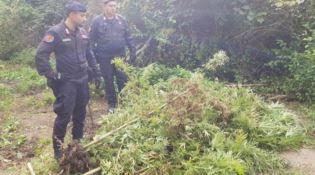 Sorpresi a curare una piantagione di marijuana, due arresti