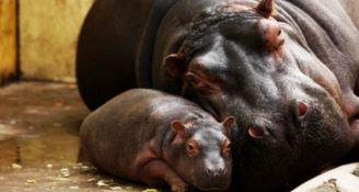 Nasce un cucciolo di ippopotamo, festa allo Zoosafari