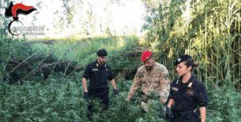 Coltivano marijuana su terreno demaniale, due arresti nel Reggino