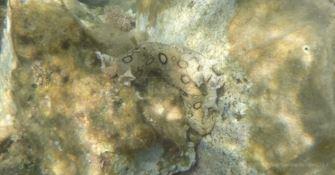 Straordinario incontro nelle acque vibonesi: avvistata una Lepre di mare