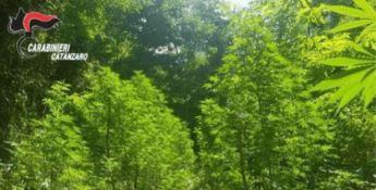 Sorpreso a coltivare oltre 300 piante di canapa, arrestato 48enne
