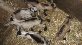 I cuccioli di capra