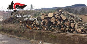 Decine di pini abbattuti abusivamente nel Vibonese, tre denunce