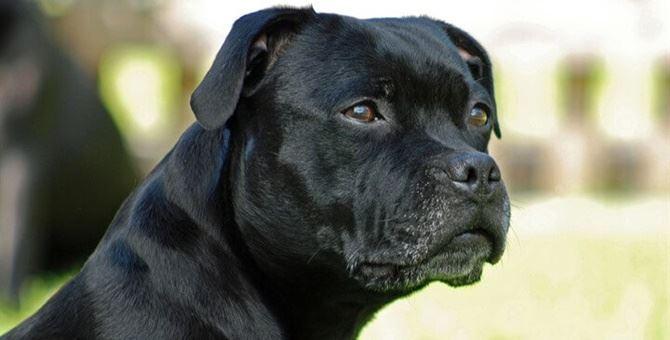 Un cane Amstaff