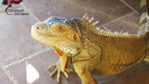 L'iguana sequestrata