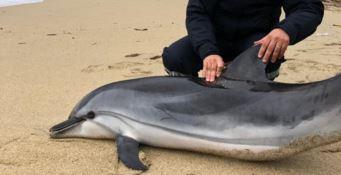Delfino viene recuperato nel Vibonese ma muore poco dopo
