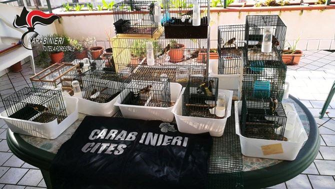 I cardellini detenuti illegalmente ad Amantea