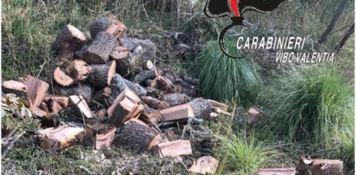 Abbattono querce secolari, un arresto e due denunce a Ricadi
