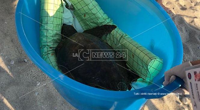 La tartaruga salvata a Zambrone