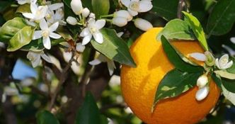 Trebisacce celebra le arance autoctone con la Festa del Biondo tardivo