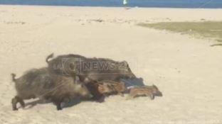 Cinghiali in spiaggia e nel centro abitato, cresce la preoccupazione a Soverato