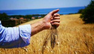 La raccolta del grano a San Floro