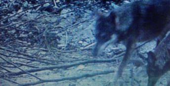 Paura a Crotone, branco di lupi in giro per la città a causa del lockdown