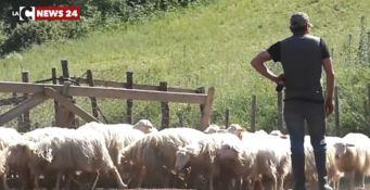 Le pecore vittime dei lupi