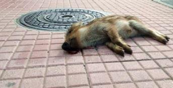 Lamezia, cucciolo di cinghiale ritrovato morto in pieno centro