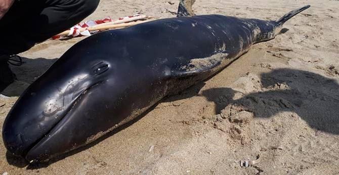 Il delfino spiaggiato a Belvedere - foto di Sergio Arcuri (Facebook)