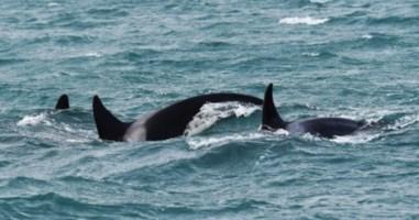 Le orche avvistate nei pressi di Scilla, biologi in fermento