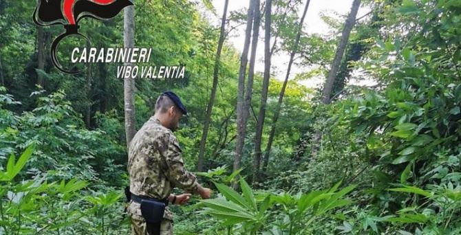 Piantagione di marijuana nel Vibonese