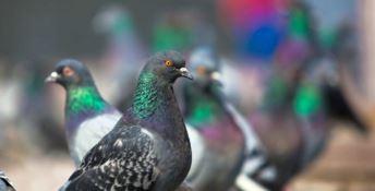 Una nuova ordinanza sulla Costa degli dei: stavolta contro… i piccioni