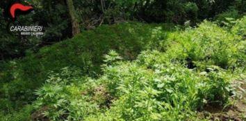 600 piante di marijuana