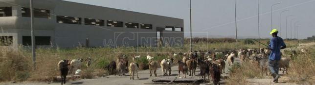 Capre al pascolo tra i capannoni industriali di Crotone