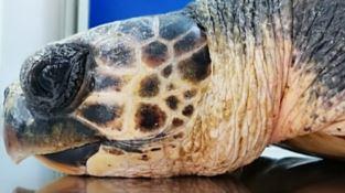 Reggio, tartaruga ferita viene salvata nelle acque dello Stretto