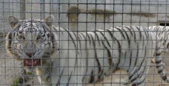 Le tigri uccidono e sbranano l'addestratore, tragedia al circo Orfei