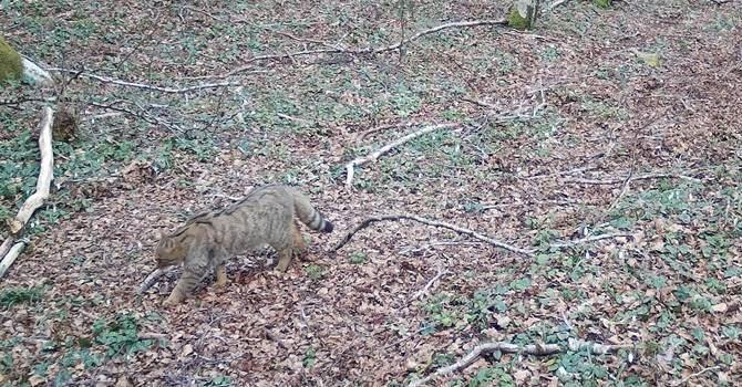 Il gatto selvatico avvistato